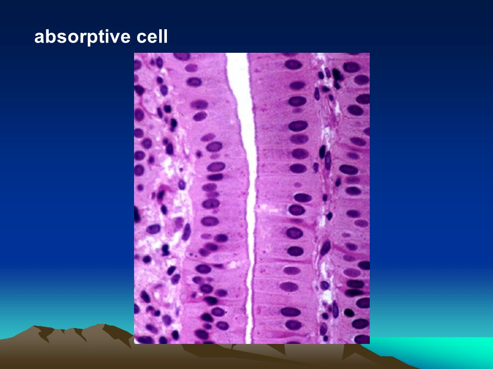 absorptive cell