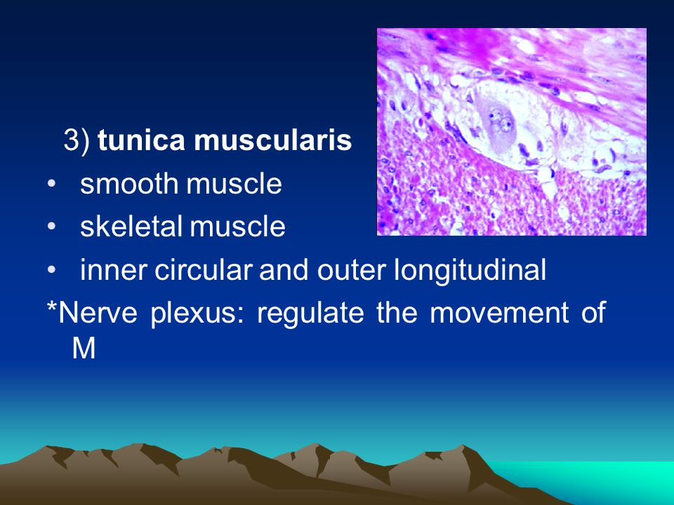 3) tunica muscularis smooth muscle. skeletal muscle.