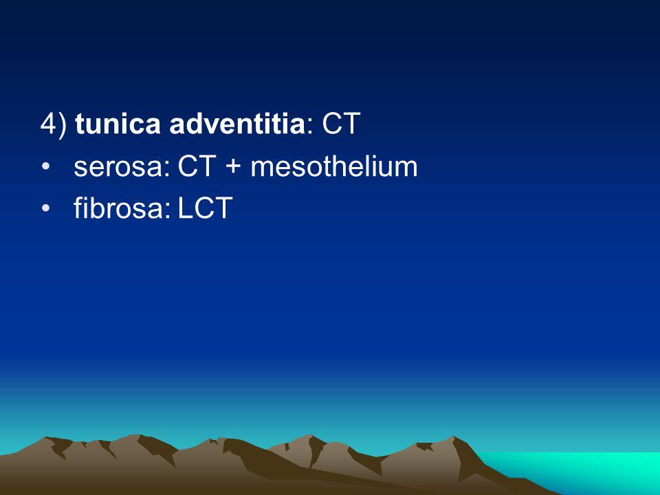 4) tunica adventitia: CT