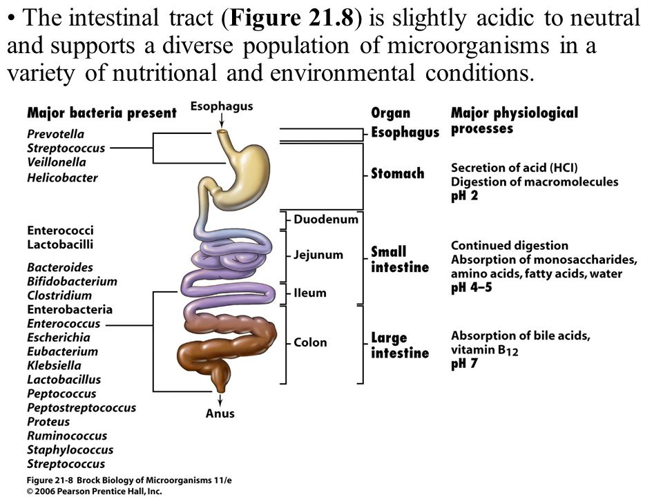 The intestinal tract (Figure 21