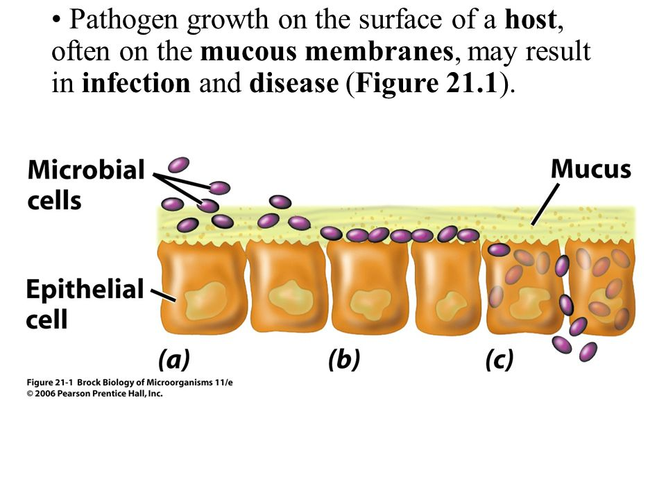 Pathogen growth on the surface of a host, often on the mucous membranes, may result in infection and disease (Figure 21.1).
