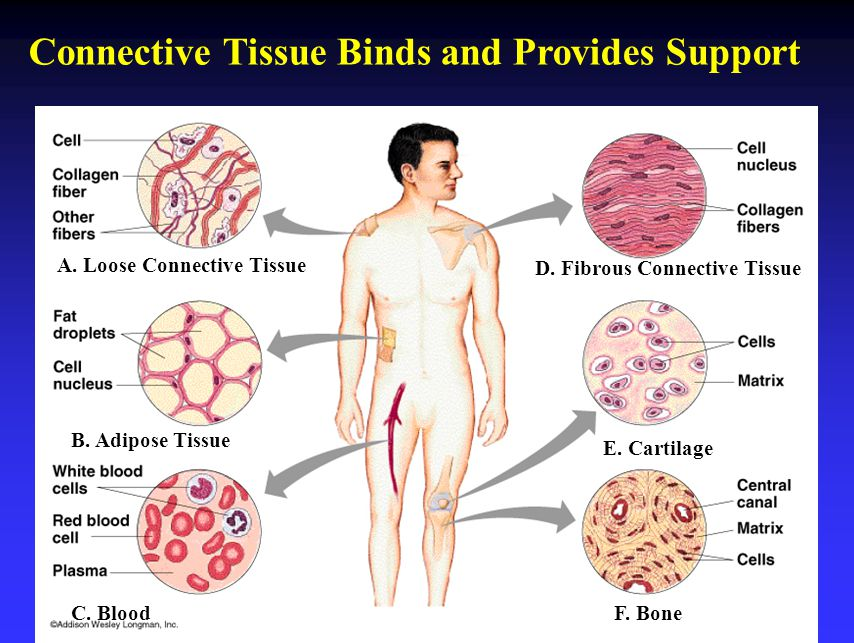 Connective Tissue Binds and Provides Support