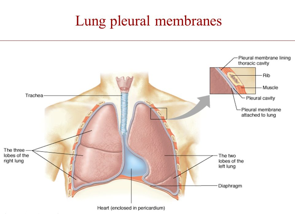 Lung pleural membranes