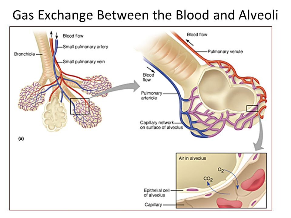 Gas Exchange Between the Blood and Alveoli