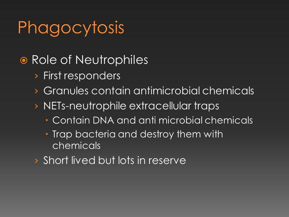 Phagocytosis Role of Neutrophiles First responders