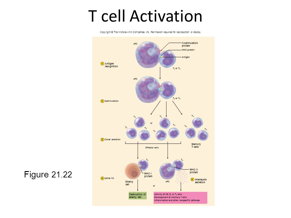 T cell Activation Figure 21.22
