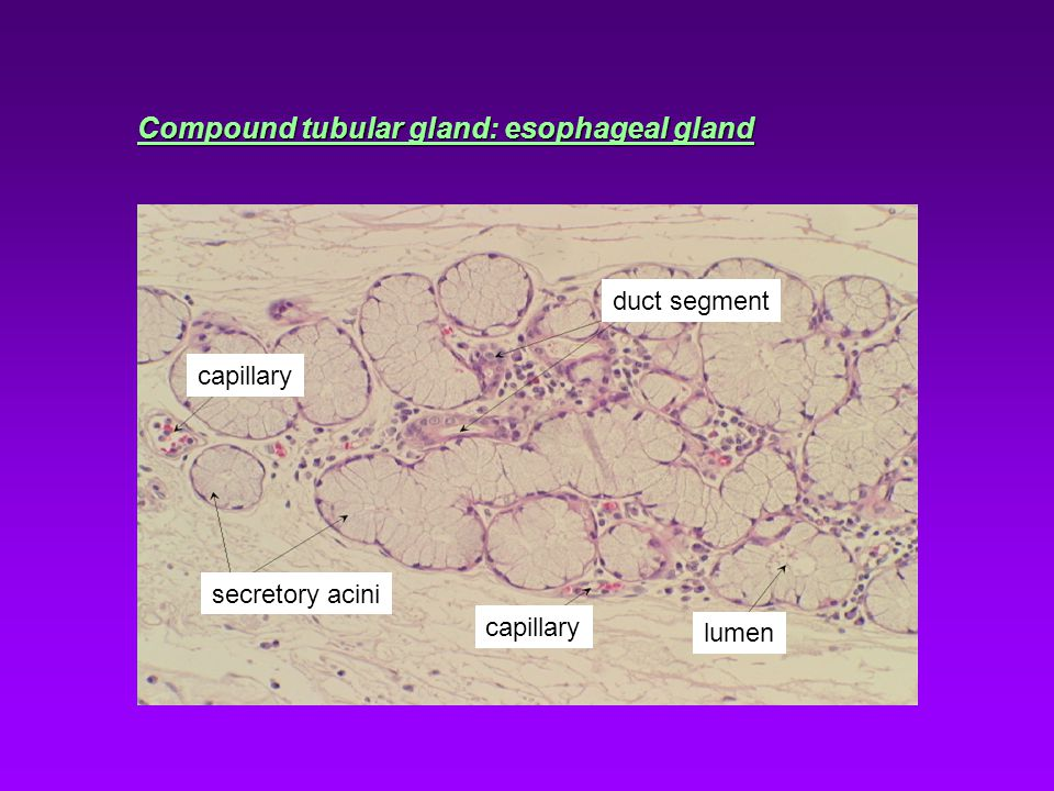 Compound tubular gland: esophageal gland