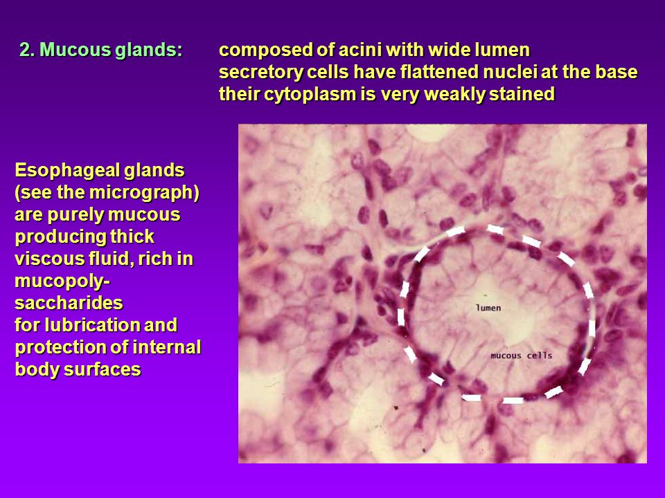 2. Mucous glands: composed of acini with wide lumen