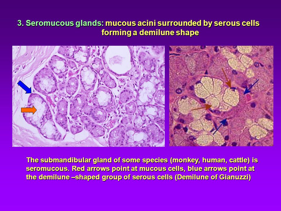 3. Seromucous glands: mucous acini surrounded by serous cells