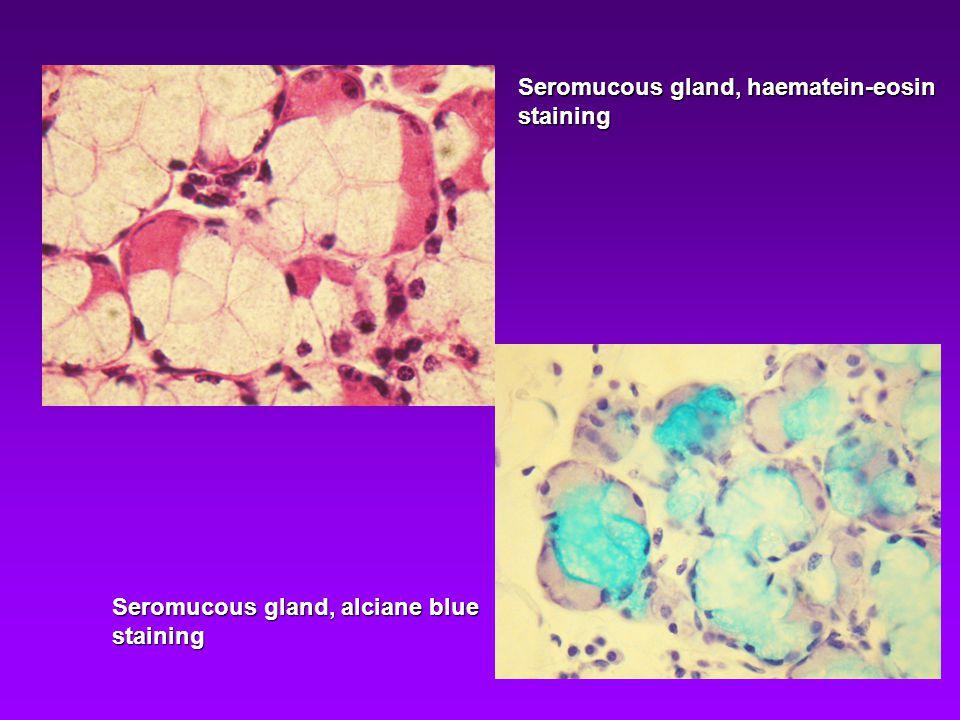 Seromucous gland, haematein-eosin
