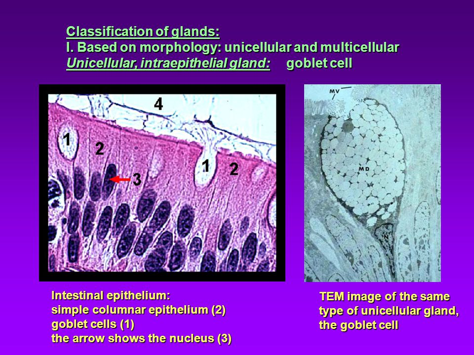 Classification of glands: