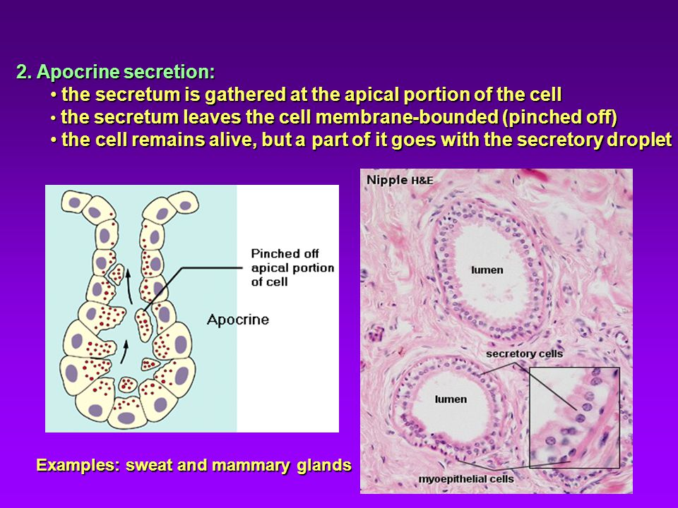 the secretum is gathered at the apical portion of the cell