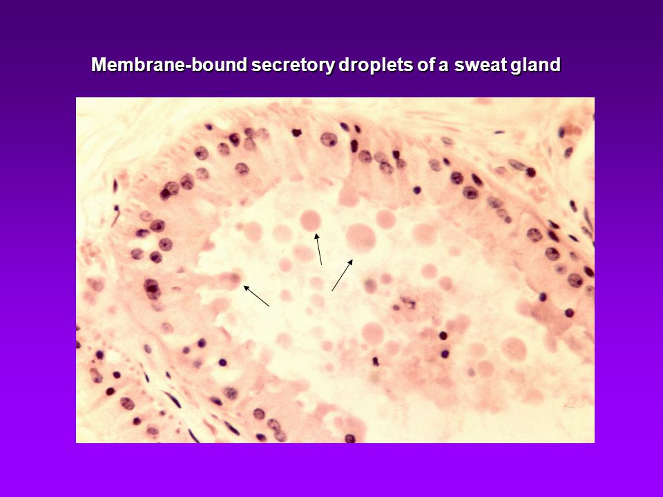 Membrane-bound secretory droplets of a sweat gland