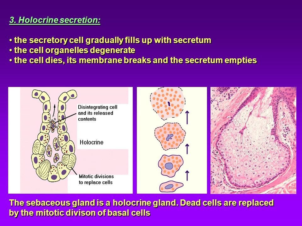 3. Holocrine secretion: the secretory cell gradually fills up with secretum. the cell organelles degenerate.
