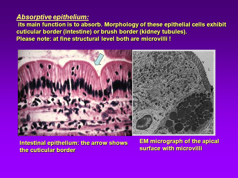 Absorptive epithelium: