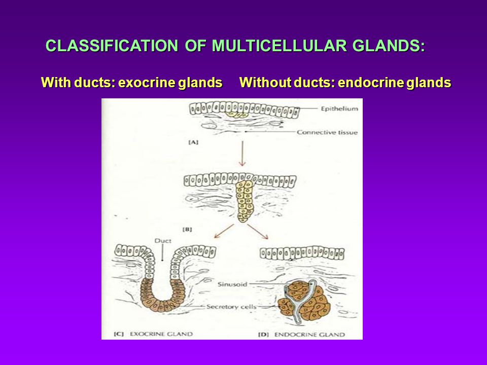 CLASSIFICATION OF MULTICELLULAR GLANDS: