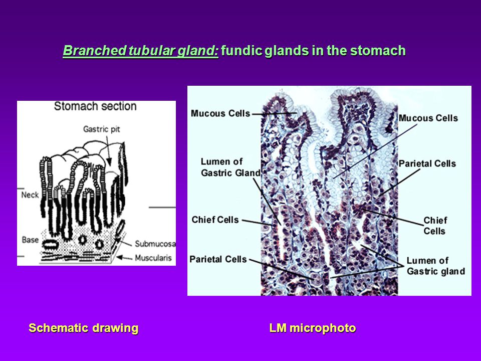 Branched tubular gland: fundic glands in the stomach