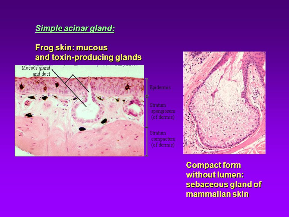 Simple acinar gland: Frog skin: mucous. and toxin-producing glands. Compact form without lumen: sebaceous gland of.