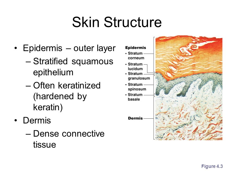 Skin Structure Epidermis – outer layer Stratified squamous epithelium