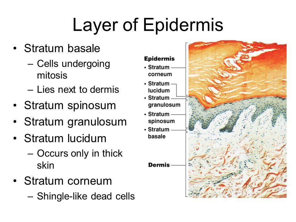 Layer of Epidermis Stratum basale Stratum spinosum Stratum granulosum