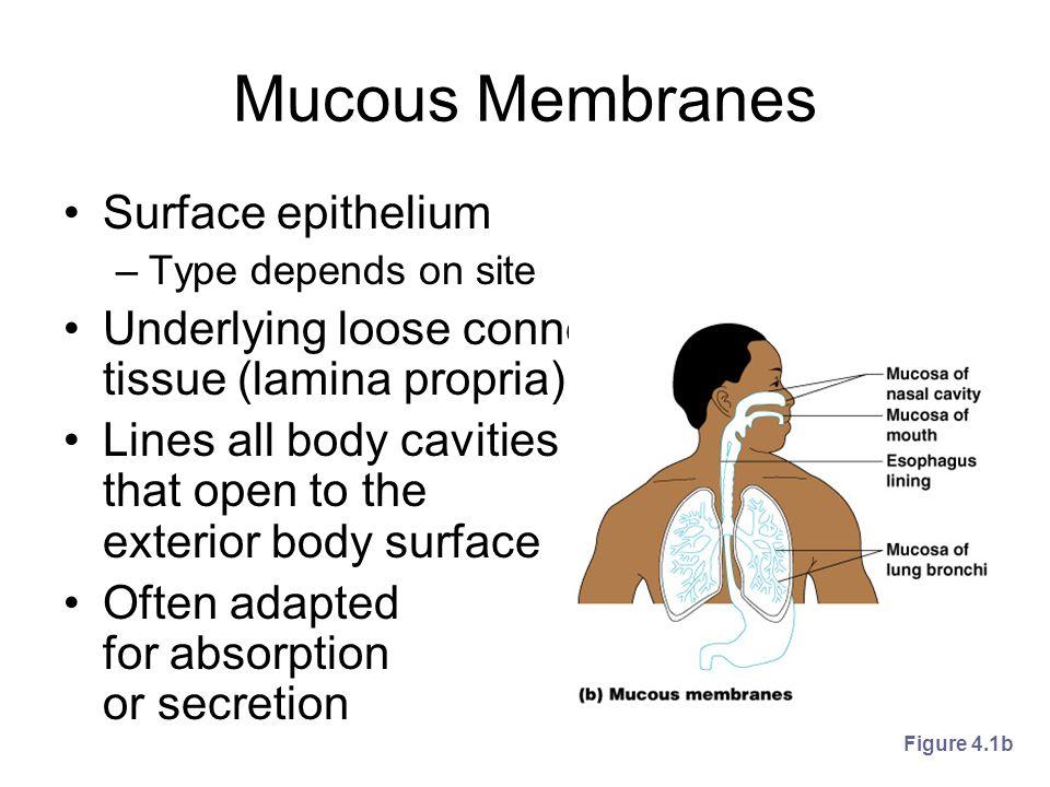 Mucous Membranes Surface epithelium