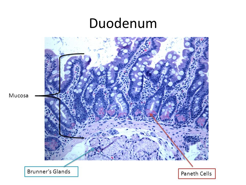 Duodenum Mucosa Brunner's Glands Paneth Cells