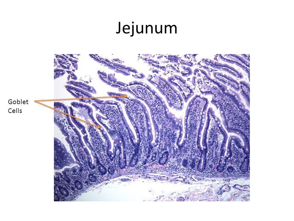 Jejunum Goblet Cells