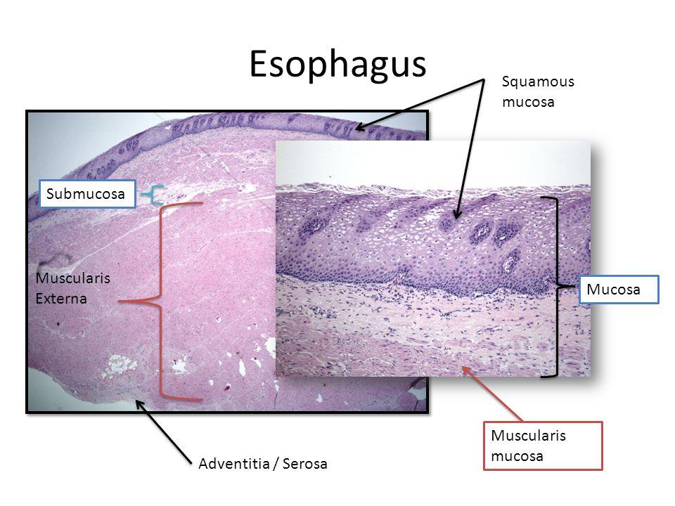 Esophagus Squamous mucosa Submucosa Muscularis Externa Mucosa