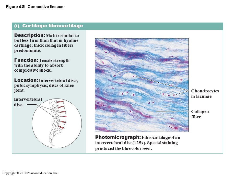 Figure 4.8i Connective tissues.