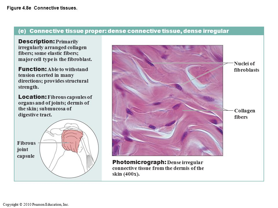 Figure 4.8e Connective tissues.