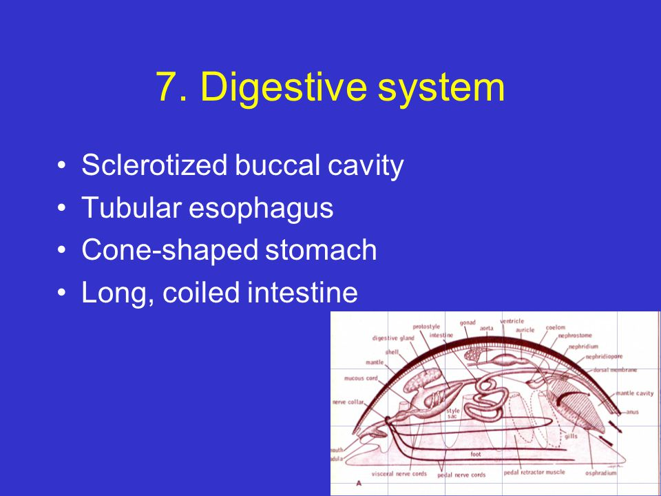 7. Digestive system Sclerotized buccal cavity Tubular esophagus