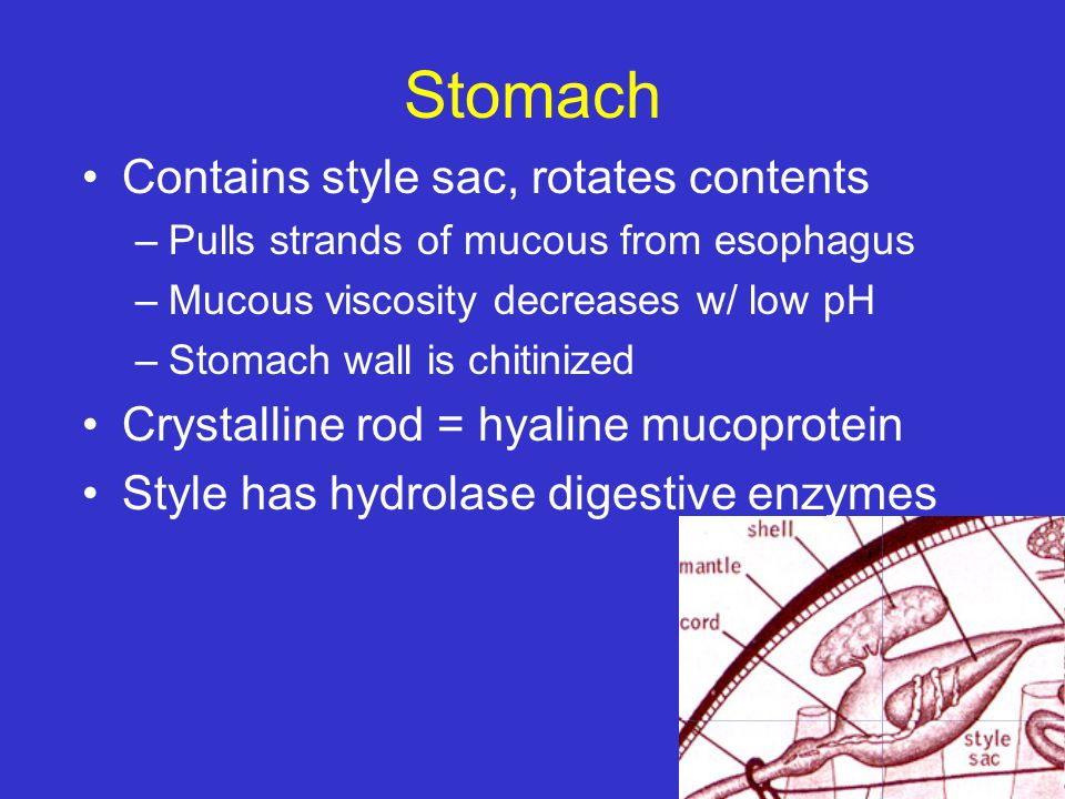 Stomach Contains style sac, rotates contents