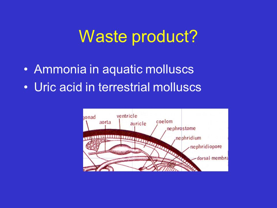 Waste product Ammonia in aquatic molluscs
