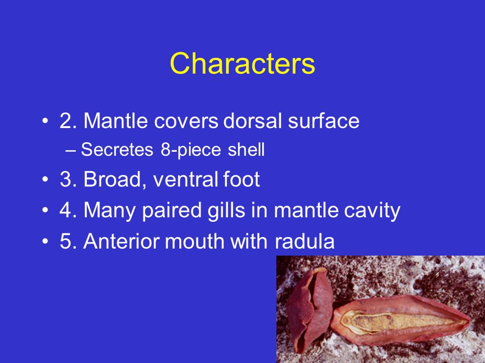 Characters 2. Mantle covers dorsal surface 3. Broad, ventral foot