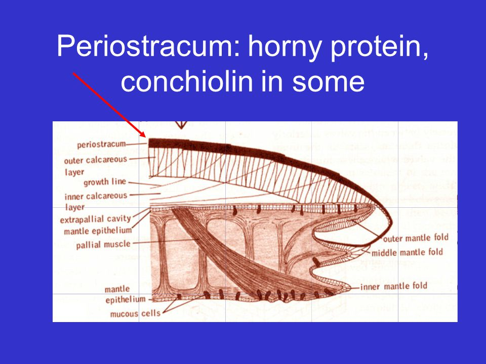 Periostracum: horny protein, conchiolin in some