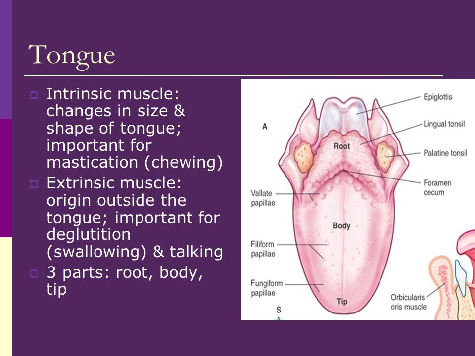 Tongue Intrinsic muscle: changes in size & shape of tongue; important for mastication (chewing)