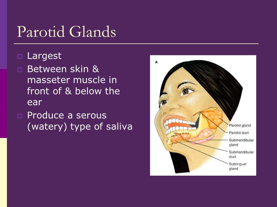 Parotid Glands Largest