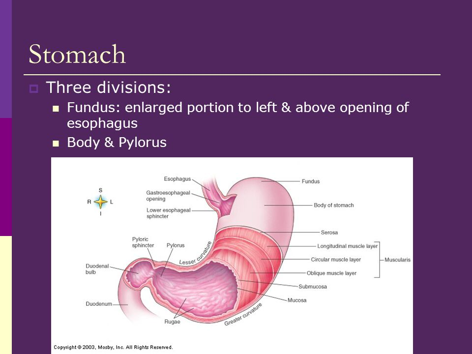 Stomach Three divisions: