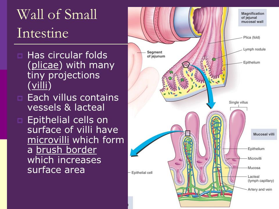 Wall of Small Intestine