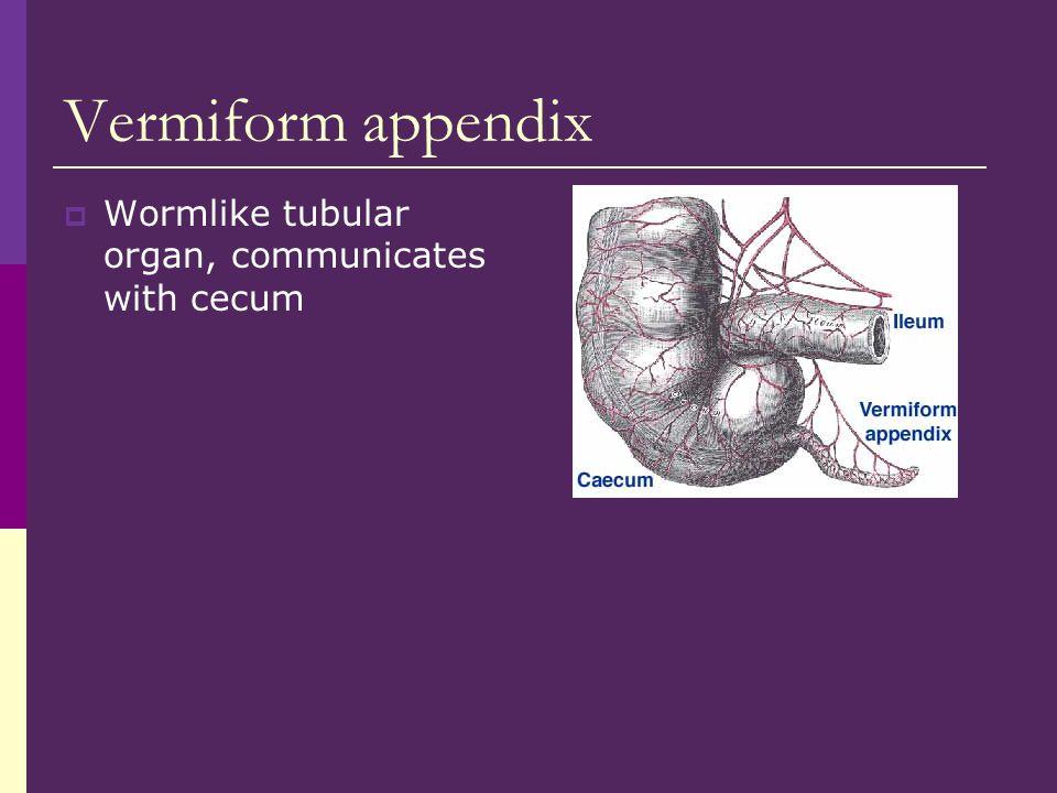 Vermiform appendix Wormlike tubular organ, communicates with cecum