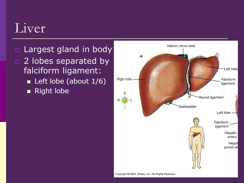 Liver Largest gland in body 2 lobes separated by falciform ligament: