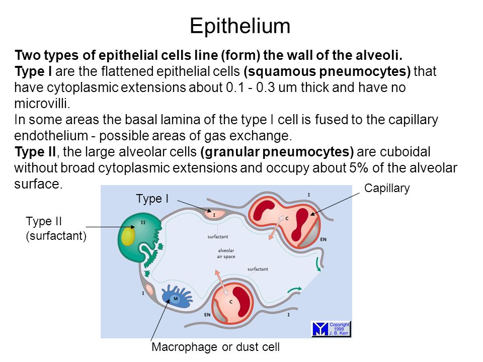 Epithelium Two types of epithelial cells line (form) the wall of the alveoli.
