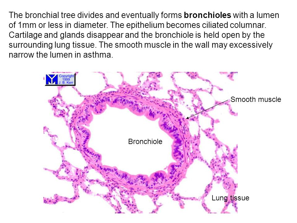 The bronchial tree divides and eventually forms bronchioles with a lumen of 1mm or less in diameter. The epithelium becomes ciliated columnar. Cartilage and glands disappear and the bronchiole is held open by the surrounding lung tissue. The smooth muscle in the wall may excessively narrow the lumen in asthma.