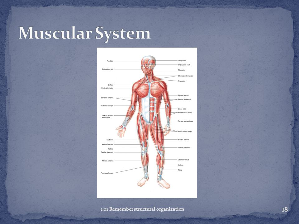 Muscular System 1.01 Remember structural organization