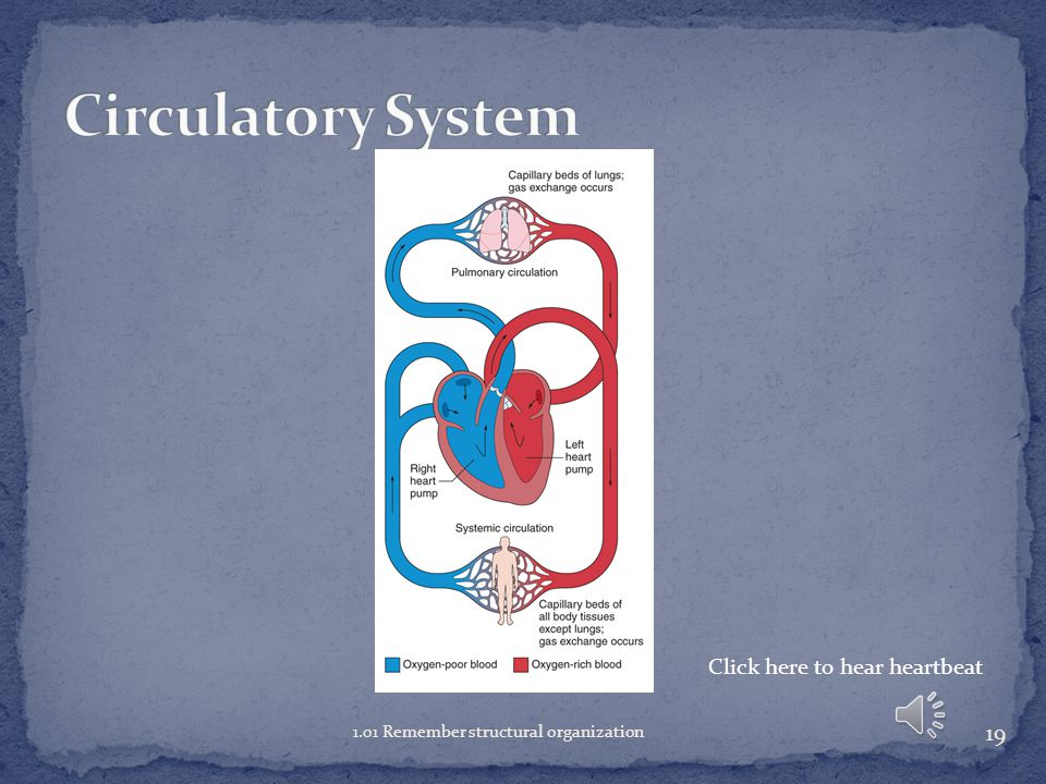 Circulatory System Click here to hear heartbeat