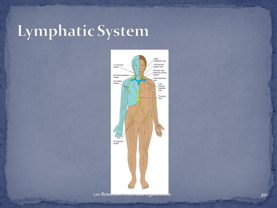 Lymphatic System 1.01 Remember structural organization