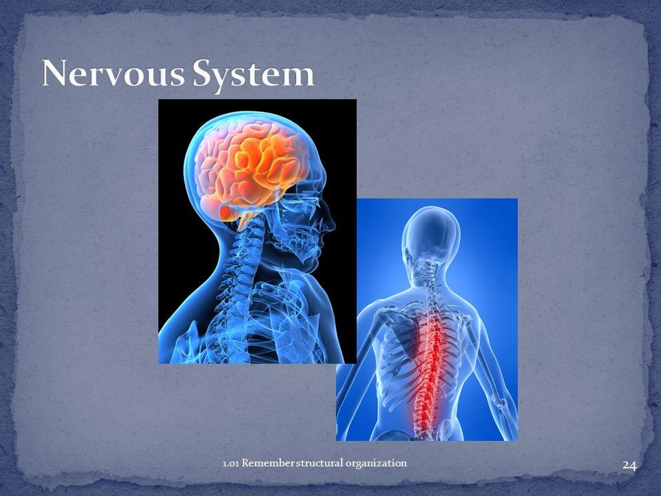 Nervous System 1.01 Remember structural organization
