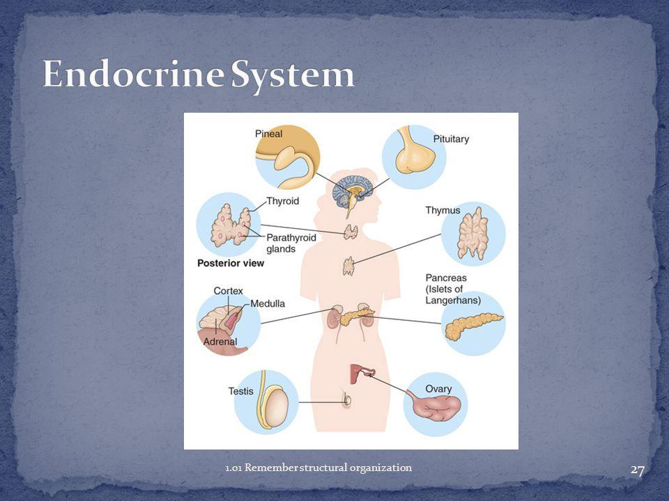 Endocrine System 1.01 Remember structural organization