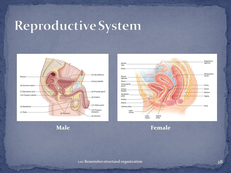 Reproductive System Male Female 1.01 Remember structural organization