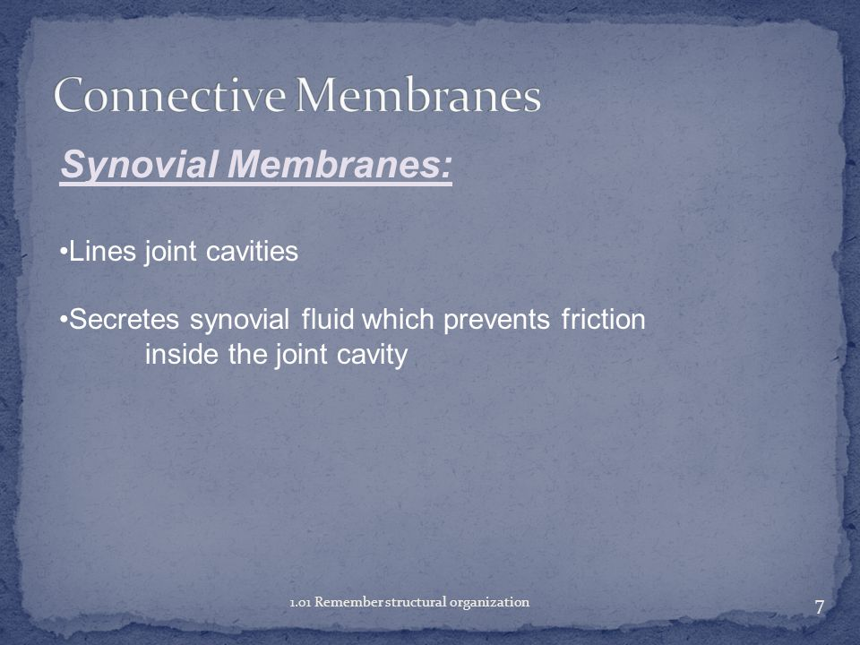 Connective Membranes Synovial Membranes: Lines joint cavities